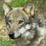 Foro presenta una nueva iniciativa en la Junta asturiana para solucionar el problema del lobo