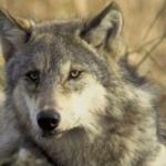 Perecen por veneno un lobo en Valladolid y un águila en Segovia