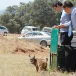 Andalucía participa en la definición de áreas de reintroducción del lince en Extremadura, Castilla La Mancha y Portugal