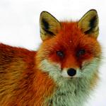 La Consejería de Agricultura de CLM publica la orden por la que se establecen las normas de homologación de métodos de captura de especies cinegéticas depredadoras