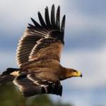 La población reproductora del águila imperial ibérica alcanza las 89 parejas en Andalucía, un 9,3% más que en 2012