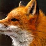 Castilla-La Mancha publica la Orden que regula la acreditación de los usuarios de los métodos de captura de especies cinegéticas depredadoras