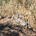Federaciones: Aprobado el protocolo de Emergencia Sanitaria para la nueva cepa de la Enfermedad Hemorrágica Vírica del conejo silvestre