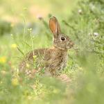 Castilla-La Mancha: Para evitar daños a los cultivos Agricultura ha concedido 364 autorizaciones para descaste de conejos