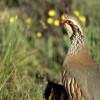 Andalucía: Medio Ambiente entrega los primeros certificados de calidad genética para la cría en cautividad de la perdiz roja