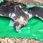 Fianza de 800.000 euros por envenenar seis águilas imperiales