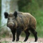 La Junta de CLM autoriza la caza temporal de jabalí en algunas comarcas de Ciudad Real para controlar la tuberculosis en ganaderías