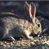 Medio Ambiente desarrolla en el Espacio Natural de Doñana un proyecto para la recuperación del conejo de monte
