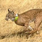 Iberlince liberará ocho nuevos ejemplares de lince en los Montes de Toledo