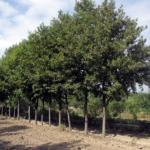 Extremadura: Medio Ambiente pone en marcha la campaña anual de donación de árboles y arbustos destinada a ayuntamientos de menos de 5.000 habitantes