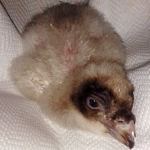 Andalucía: Nace el primer pollo de la temporada del programa de cría en cautividad del quebrantahuesos