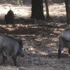 La Junta de Andalucía declara el área de emergencia cinegética para evitar daños de cerdos asilvestrados en poblaciones de jabalí