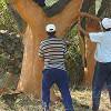 La resinación del pino, un yacimiento de empleo