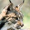 """La Unión Internacional para la Conservación de la Naturaleza (UICN) reclasifica al lince ibérico de """"en peligro crítico"""" a """"en peligro"""""""