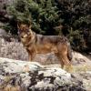 La Junta de Castilla y León estudia permitir la caza de lobos durante las batidas de otro tipo de piezas
