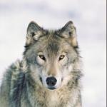 Francia: los cazadores protegerán a los rebaños de los ataques de lobos