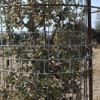 Para proteger su reforestación: Coronas CACTUS - fragmento protector-