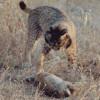 Extremadura: Medio Ambiente pondrá en marcha un plan de manejo de conejo silvestre para reforzar las poblaciones de lince ibérico