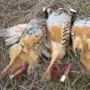 Las altas temperaturas otoñales retrasarán el inicio de la temporada de caza en CLM