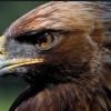 El águila imperial ibérica duplica su población en Castilla y León
