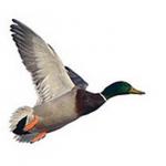 El domingo, 31 de enero finaliza la temporada de caza de acuáticas en el entorno del P. N. de Doñana