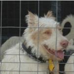 La Asociación Española de rehalas en contra de la Resolución que obliga a los rehaleros a la obtención del carnet de transportista de animales vivos
