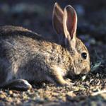 16 términos municipales conquenses, declarados comarca de emergencia por los daños del conejo de monte