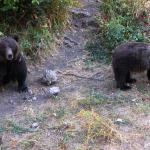 Más de 4.000 cazadores colaboran en trabajos de recuperación del oso pardo