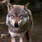 Cantabria prohibirá la caza del lobo en todo el territorio autonómico