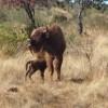 Nace el primer bisonte en Monfragüe desde la prehistoria
