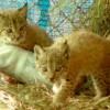 Nacen los primeros cachorros de lince en los centros de cría de Parques Nacionales