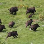 La Autoridad Europea de Seguridad Alimentaria aconseja la caza intensiva de jabalíes para evitar la PPA si no hay brotes
