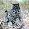 Un coto privado de caza alberga la mayor población de lince de España