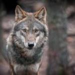 Los ganaderos de Castilla y León piden a la UE que se cumpla el cupo de caza de los lobos
