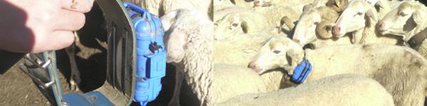 gps en ovejas1