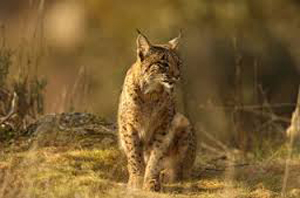 images_lince