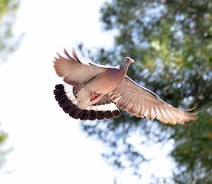 paloma vuelo
