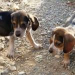 Cachorros conejeros de medio rastro