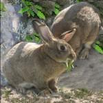 Conejos de campo