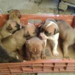 Se venden cachorros cruza de Bull Terrie y Pitbull
