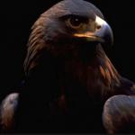 El CERI de Sevilleja de la Jara devuelve a su hábitat a un águila imperial
