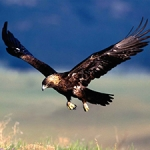 La CE valora los trabajos con el águila imperial ibérica en España como un ejemplo en la conservación