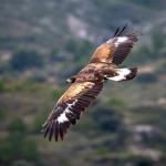 18 meses de prisión y multa de 360.000 euros para el ganadero que envenenó a seis águilas en Ciudad Real