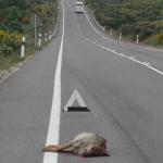 Un automóvil atropella mortalmente a un lobo en plena nacional Ávila-Toledo