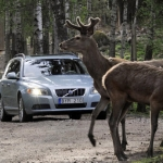 Un informe alerta del peligro para la seguridad vial de no realizar el aprovechamiento cinegético