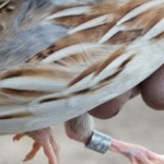 La ONC pide que se le remitan las anillas de aves abatidas en media veda